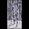 Birch Trees I 10x20 by Doris Pontieri